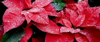 пуансеттия цветок