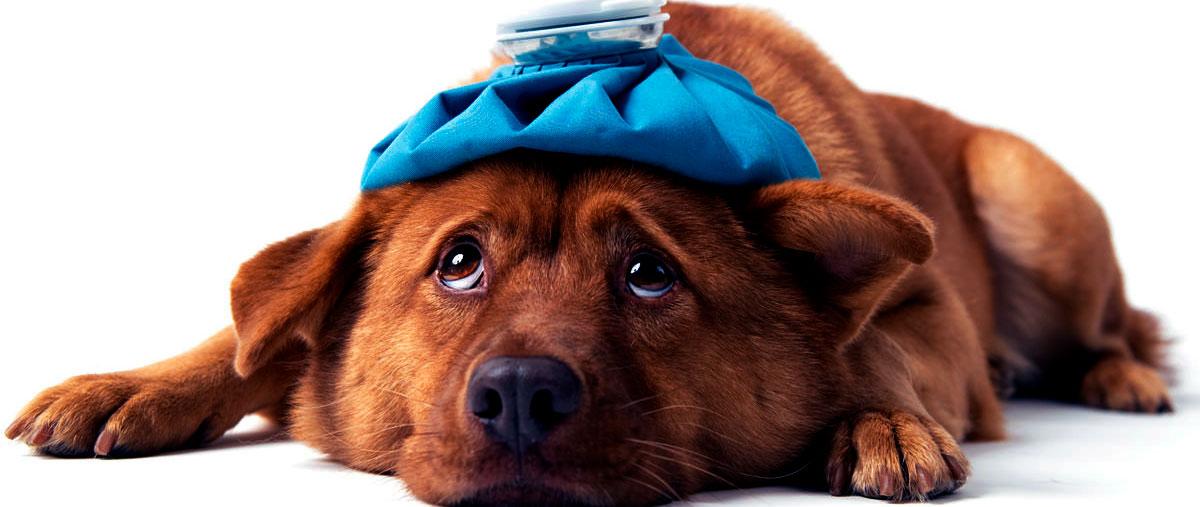 гепатозооноз у собаки