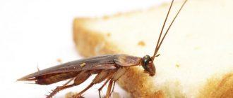 Как бороться с тараканами в квартире в домашних условиях
