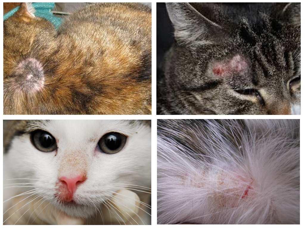 как узнать что у кошки аллергия