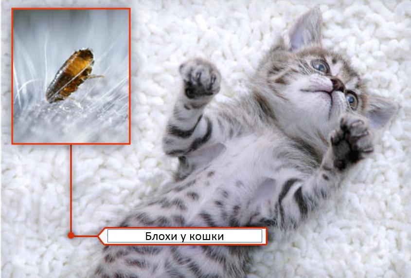кошка инсектная аллергия
