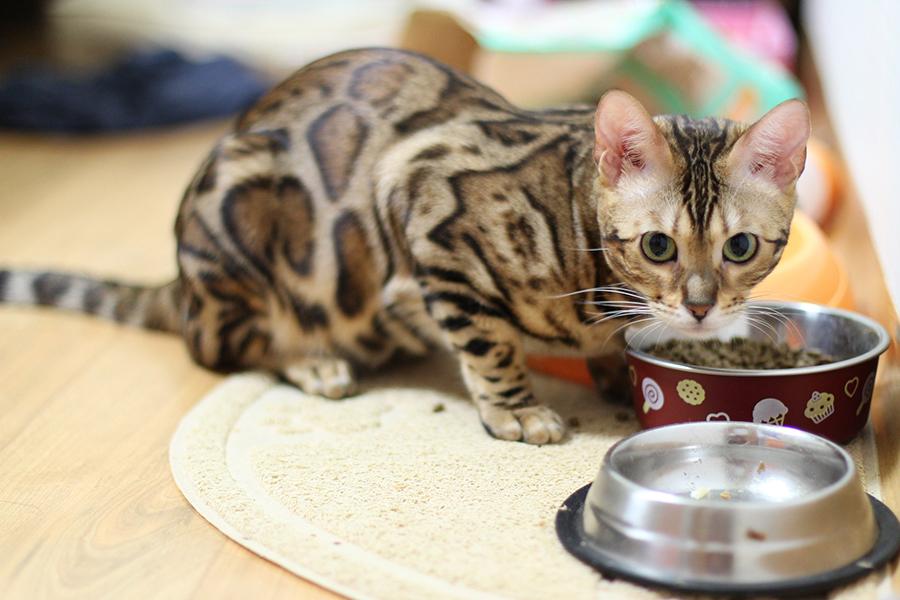 кошка пищевая аллергия