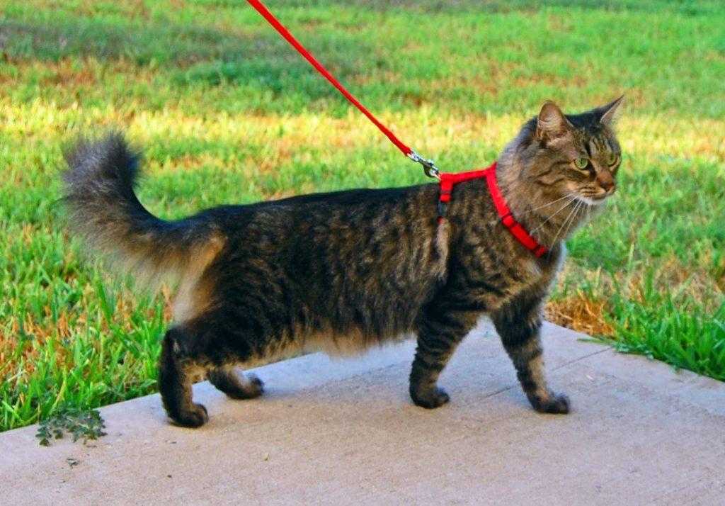 шлейка на кошку для прогулки