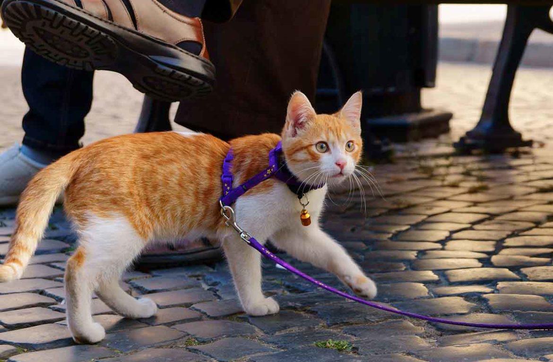шлейка восьмерка на кошку