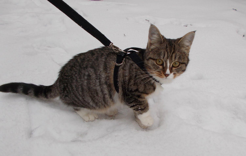 шлейка на кота фото 2