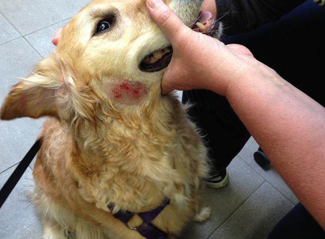 Кожная аллергия у собак