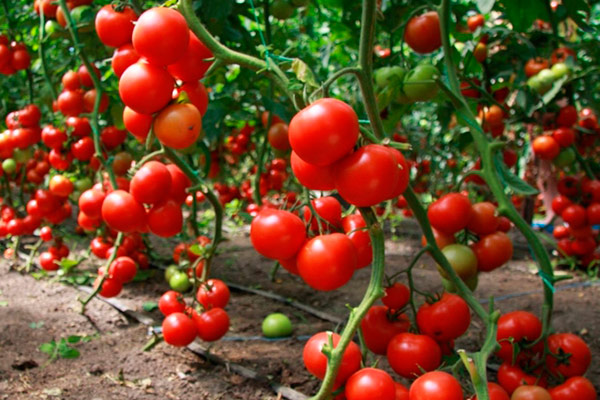 Подвязываем помидоры