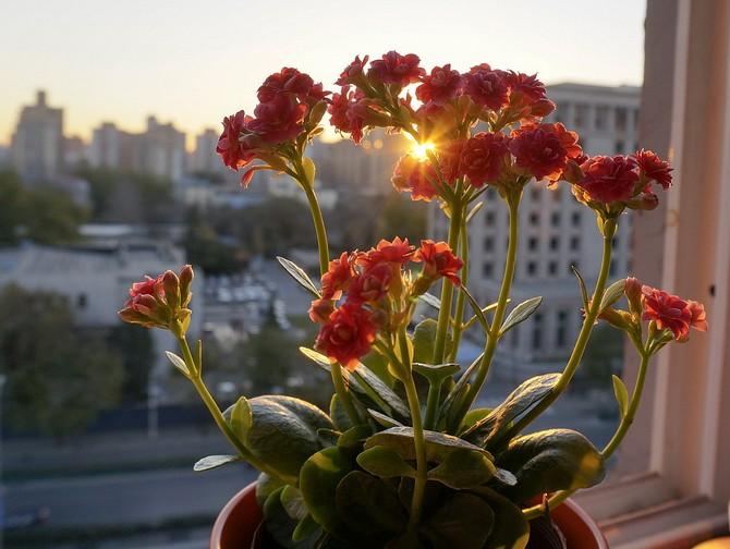 Почему не цветет каланхоэ и что делать в домашних условиях