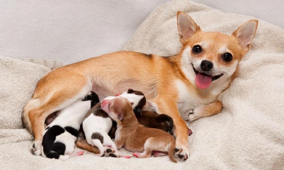 беременность у собак как понять