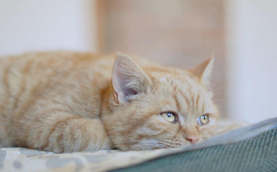 непроходимость кишечника у котов симптомы