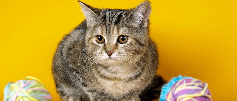 Заворот кишок у кошек: симптомы, лечение, профилактика
