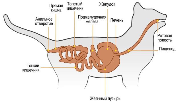 пищеварительная система кошки