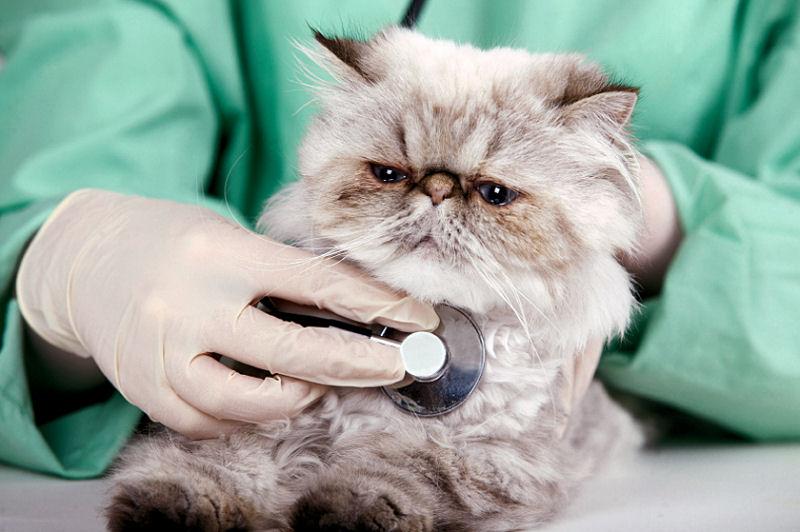 ринотрахеит у кошек лечение