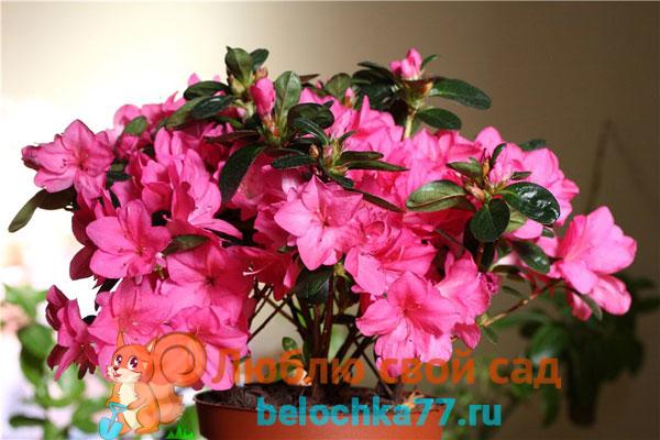 azaliya-opadayut-listya-chto-delat2019-02-12