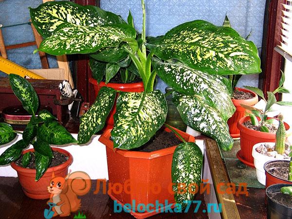diffenbahiya-vred-dlya-cheloveka2019-02-12