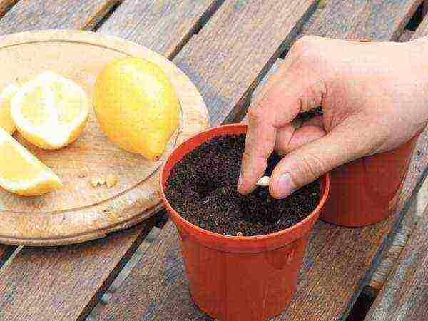 domashniy-limon-uhod-kotoryy-neobhodimo-obespechit-tsitrusovomu-derevtsu2019-02-12