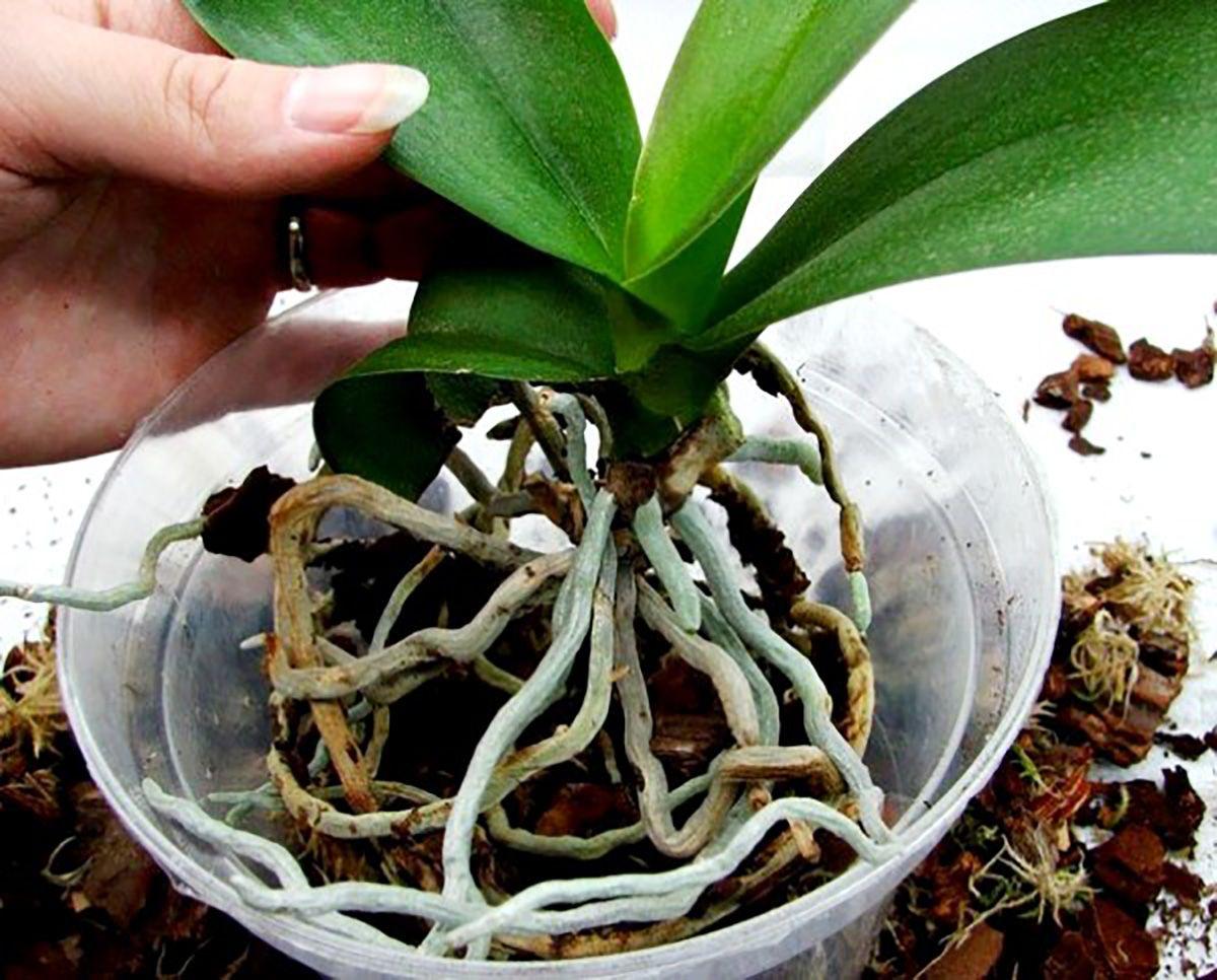 kak-peresadit-orhideyu-falenopsis2019-02-12