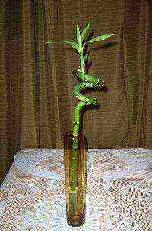 kak-uhazhivat-za-bambukom-v-domashnih-usloviyah2019-02-12