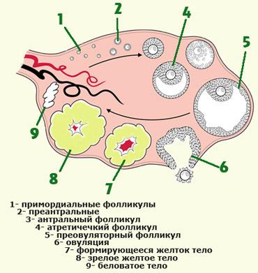 ovulyatsiya-i-zachatie-priznaki2019-02-12