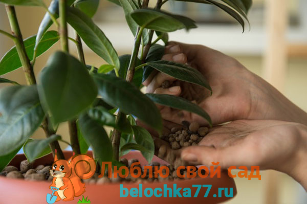 kak-peresadit-fikus-uroki-domashnego-tsvetovoda2019-02-13