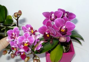 orhideya-komnatnaya-osobennosti-uhoda-i-mnogoobrazie-vidov2019-02-13