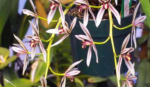 orhideya-tsimbidium2019-02-13