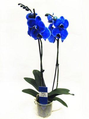 sinyaya-orhideya-falenopsis2019-02-13